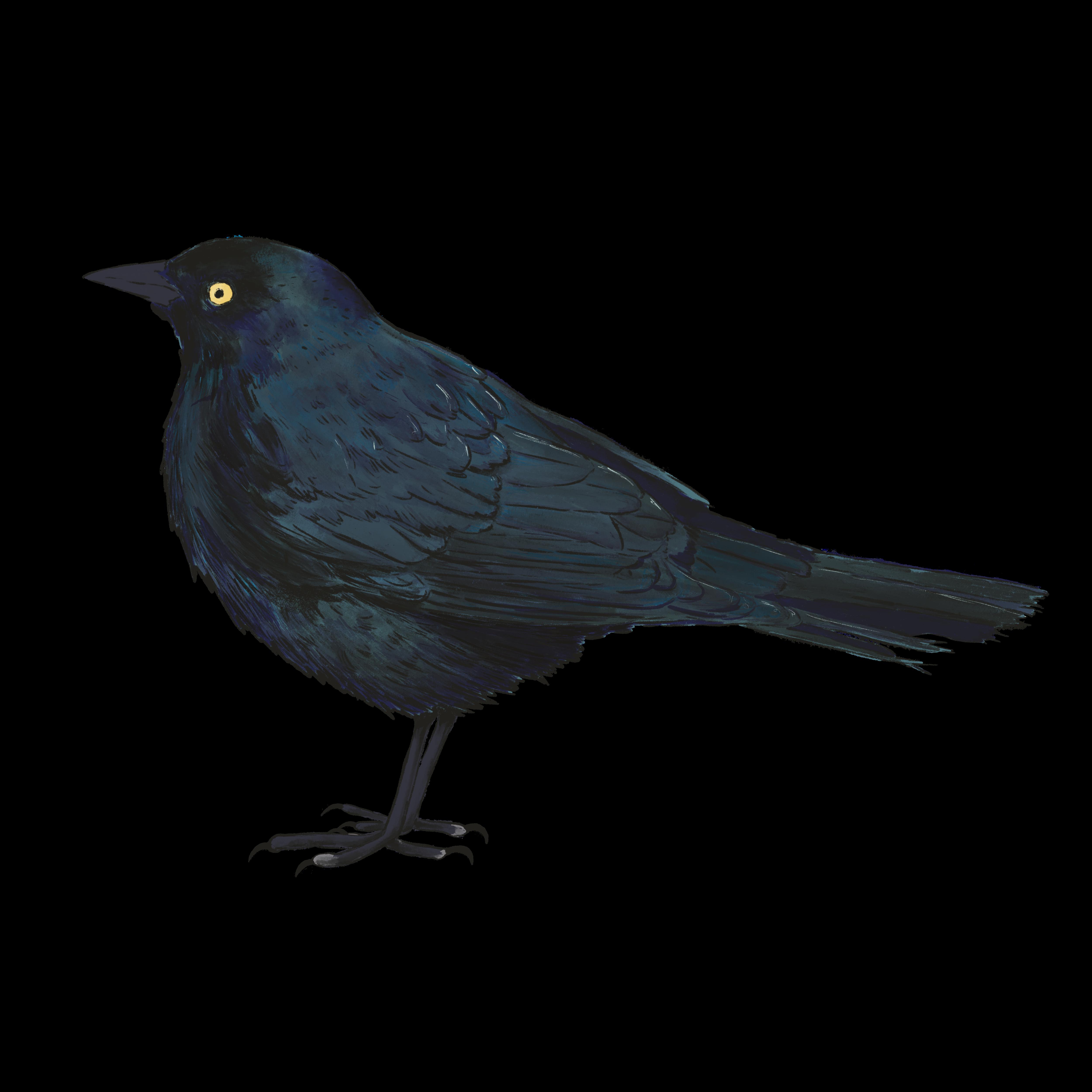 brewer's blackbird illustration